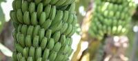 El Gobierno canario abre el plazo para solicitar la ayuda a los productores de plátano con IGP