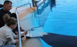 Loro Parque Fundación contribuye a estudiar cómo afectan los tóxicos en el mar al sistema inmunológico de las orcas