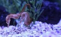 Poema del Mar da la bienvenida a nuevas crías de Caballito de Mar