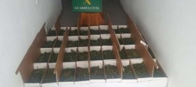 La Guardia Civil desmantela una plantación de marihuana en Fuerteventura