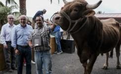 El toro 'Rubio' y la vaca 'Marinera' conquistan al jurado del Concurso de Ganado Selecto del Cabildo de Gran Canaria