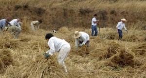 La Fiesta del Trigo toma Icod el Alto durante dos fines de semana para reivindicar el cultivo tradicional