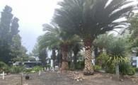 Valleseco poda las palmeras del campo santo y adecenta los jardines