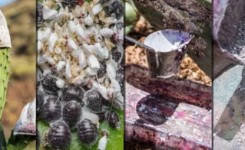 El Cabildo lleva a Madrid la exposición 'La cochinilla en Gran Canaria', para impulsar la actividad y su denominación de origen