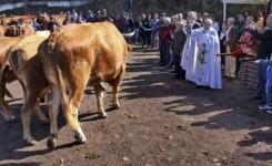 Tacoronte celebra una nueva edición de su feria de ganado en honor a San Antonio Abad