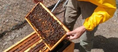 El Cabildo lleva zánganos genéticamente seleccionados a Inagua para expandir la abeja negra en Gran Canaria