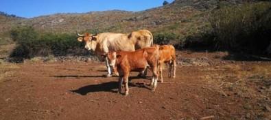El Gobierno de Canarias convoca ayudas al sector vacuno por valor de 4 millones de euros